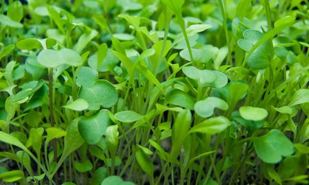 Growing Microgreens Durablegrowingequipment Com
